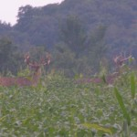 Enjoying The Soybean Food Plot